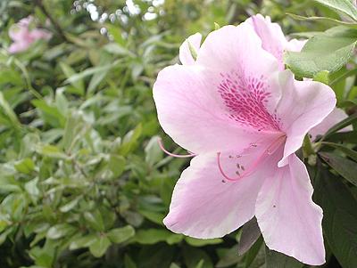 庭に咲くツツジ