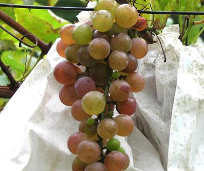育ちの悪い葡萄