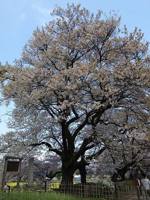 神代桜14