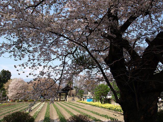 神代桜19