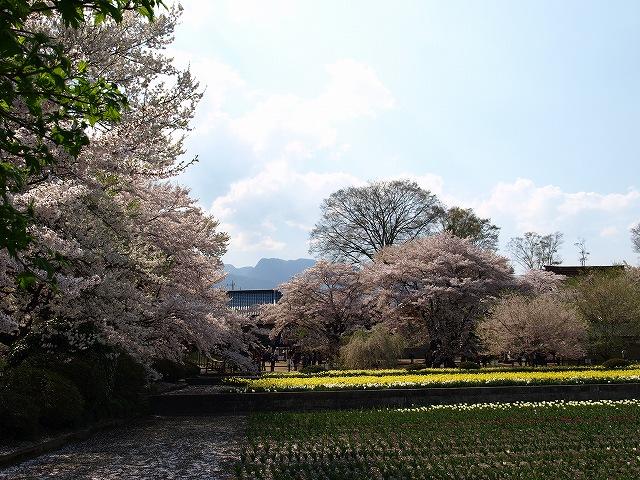 神代桜16