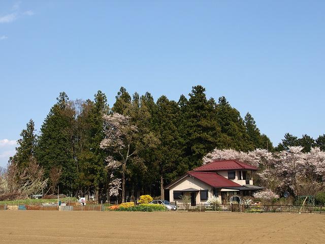 神代桜17