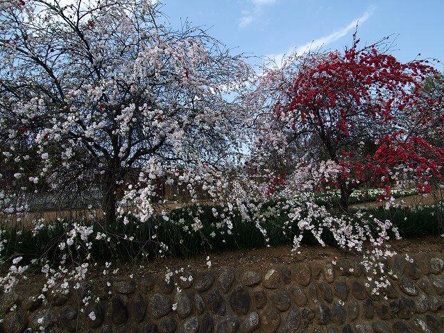 神代桜20
