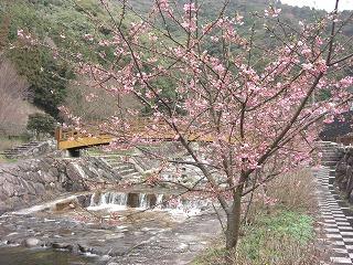 河津桜34002