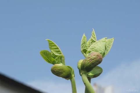 豆の芽生え-1