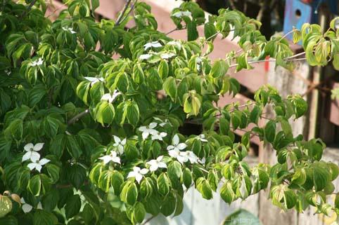 ヤマボウシの花-4