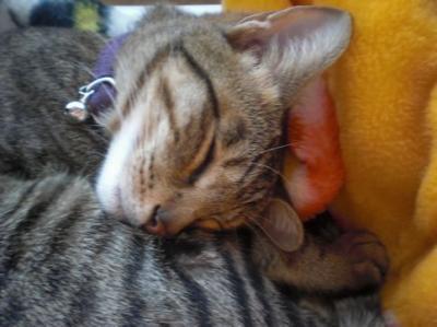 きなこ、寝顔 1