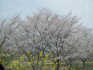 桜茶会2009表