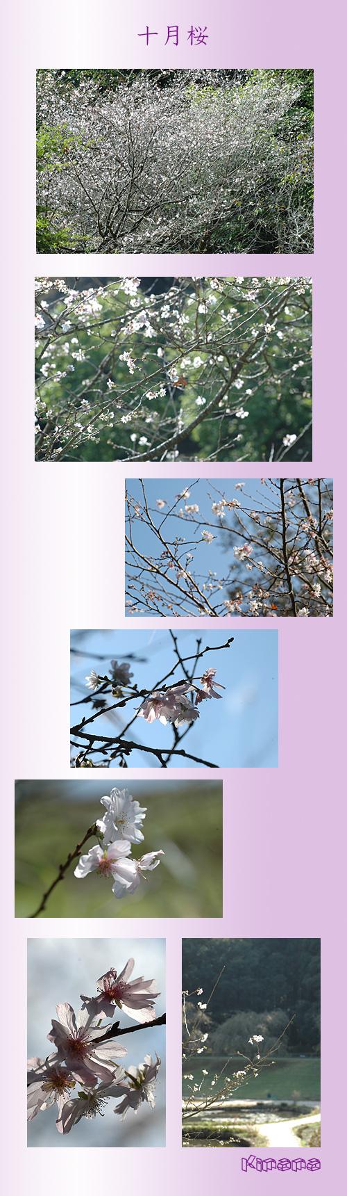 10月30日十月桜