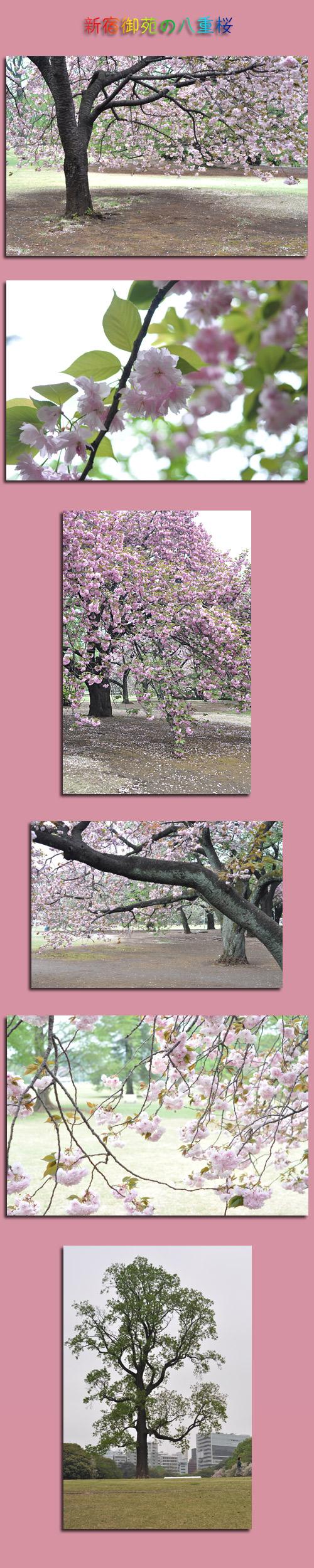 4月18日八重桜1