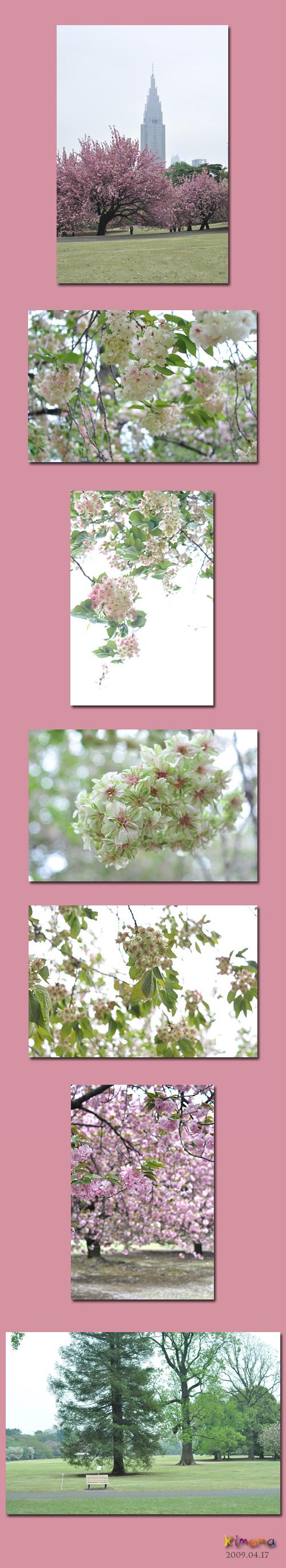 4月18日八重桜2