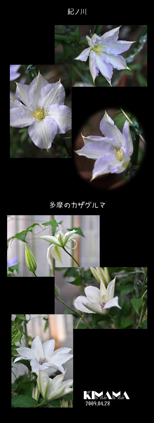 5月22日紀ノ川・多摩のカザグルマ