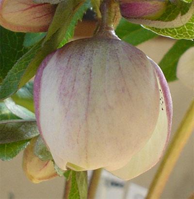 ヘレボの蕾ホワイトピンク2