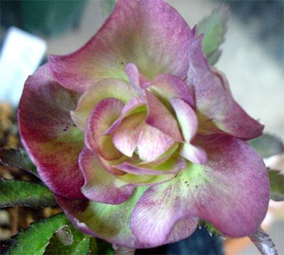バラ咲きヘレボラス
