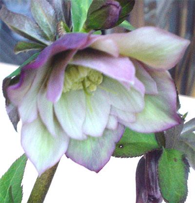 ヘレボラス 開花1