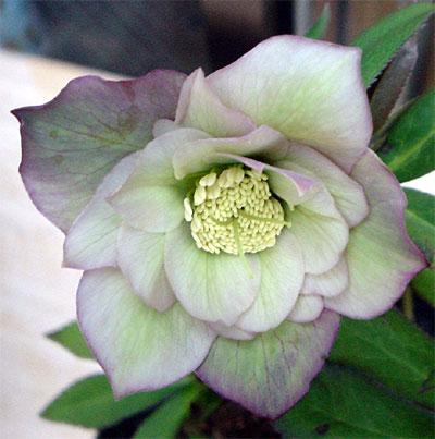 ヘレボラス 開花3