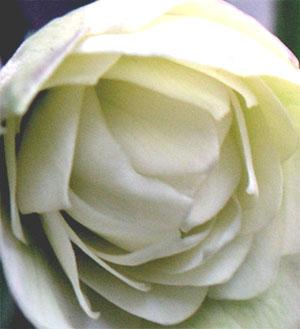 バラ咲きヘレボラス2