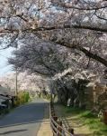 家康行列の日のあおい桜_伊賀八幡宮03