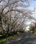 家康行列の日のあおい桜_伊賀八幡宮04