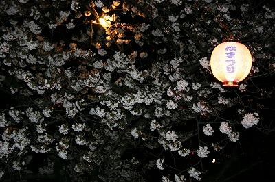 「きらり桜」満開