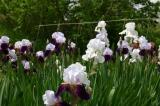 大正池までの花1