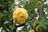 大正池までの花4
