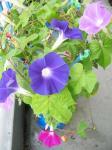 朝顔の花の色は3種類