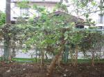 小学校の桑の木