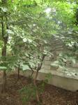 Z公園の桑の木