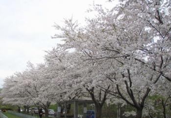 2009sakura1.jpg