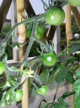 tomato005.jpg