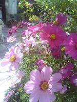 一面に咲いてるの見たい!