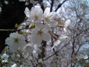 桜アップ1