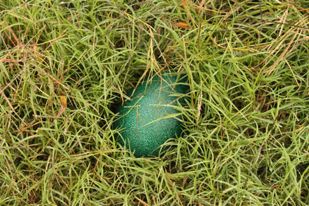 エミュー卵2
