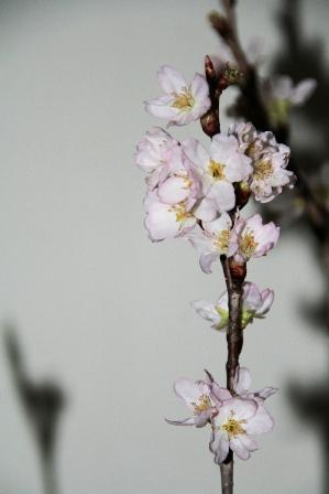 けなげな桜に感動・・