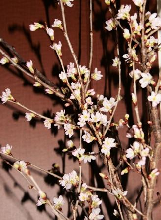 満開の我が家に桜が・・