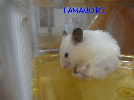 TAMANORI