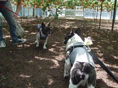 2008_0916葡萄狩り0044