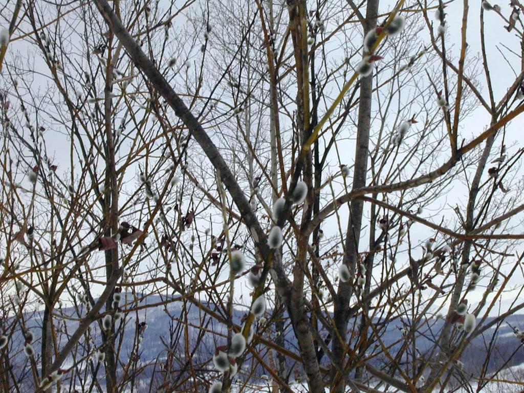 P1010020柳の木、芽吹き