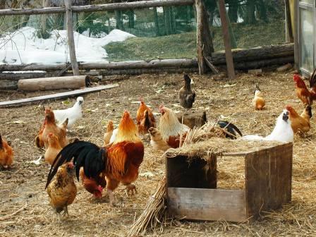 P1010084にわの鶏