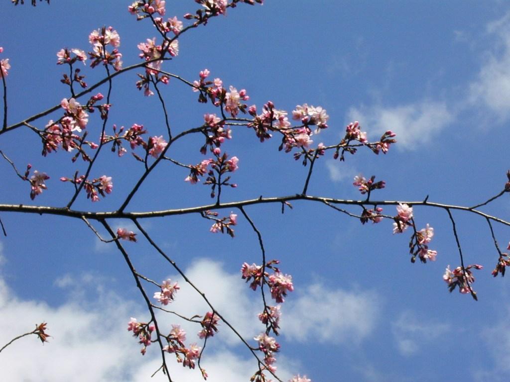 P1010144桜2009年