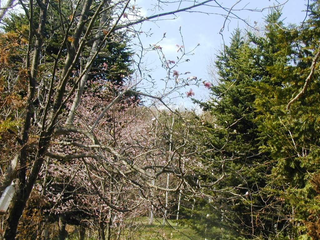 P10101472009、こぶしと桜