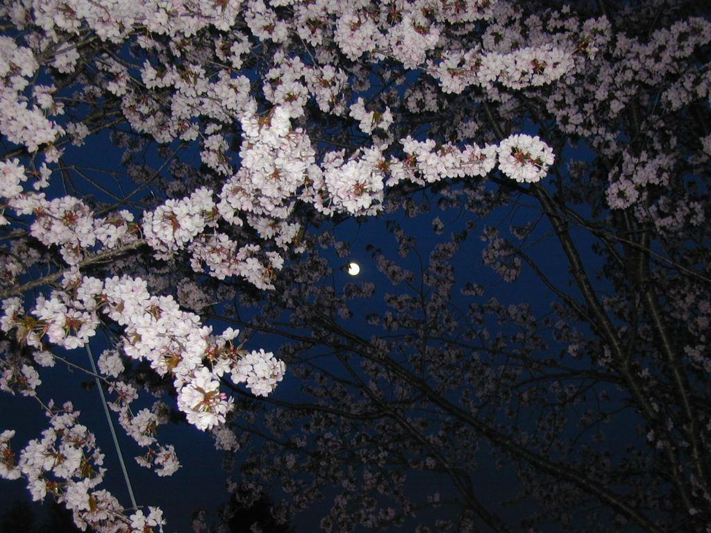 P1010004桜月