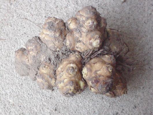 奇妙な菊芋