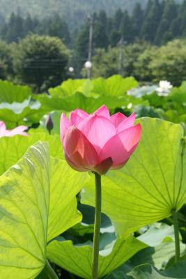 【花はす】凛と
