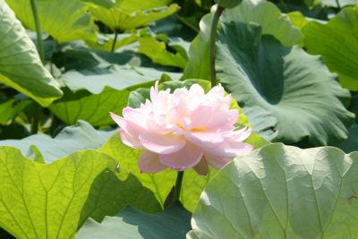 【花はす】八重