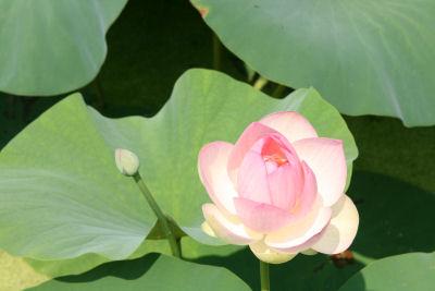 【花はす】つぼみと