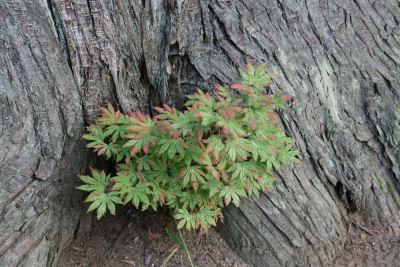 【羽黒山】幹から紅葉