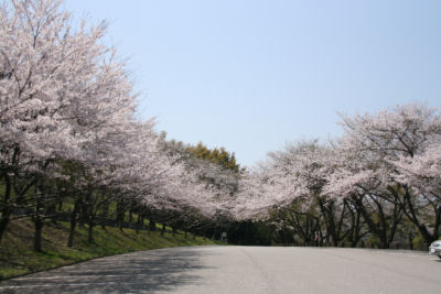 【花見日和】満開の桜