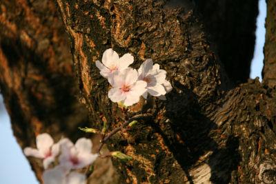 【花見日和】枝の花
